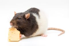 Home rat eating  cheese Royalty Free Stock Photo