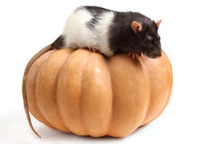 Home rat on a pumpkin Royalty Free Stock Photography