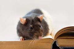 Home rat sitting on a book Stock Image