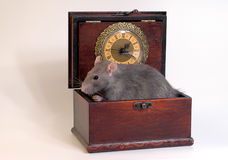 Home rat sitting in wooden case. Home silver rat sitting in wooden casket Stock Photography