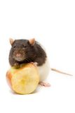 Home rat with yellow apple Royalty Free Stock Images