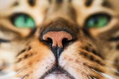 Home red with black spots Bengal cat breed, selective focus,. Home red with black spots Bengal cat breed, selective , close-up stock image