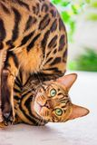 Home red with black spots Bengal cat breed, selective focus, royalty free stock photos