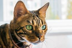 Home red with black spots Bengal cat breed, selective focus,. Close-up royalty free stock photo
