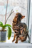 Home red with black spots Bengal cat sitting on a plastic window and sniffs Orchid flower,. Close-up royalty free stock images
