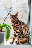 Home red with black spots Bengal cat sitting on a plastic window and sniffs Orchid flower,. Close-up stock images