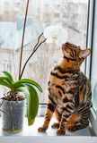 Home red with black spots Bengal cat sitting on a plastic window and sniffs Orchid flower,. Close-up stock photos