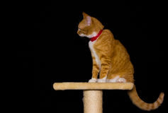 Home red cat on black background. Background black cat orange red Stock Image