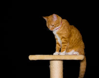 Home red cat on black background. Background black cat orange red Royalty Free Stock Images
