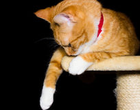 Home red cat on black background. Background black cat orange red Royalty Free Stock Photo