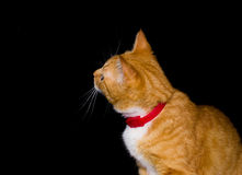 Home red cat on black background. Background black cat orange red Stock Photos