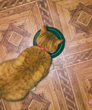 Home red cat eats food Stock Image