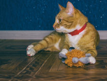 Home red cat plays with a toy Royalty Free Stock Photos