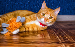Home red cat plays with a toy Royalty Free Stock Image
