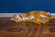 Home red cat plays with a toy Stock Photography
