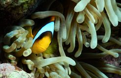 At home :). Red Sea anemone fish in the anemone royalty free stock photography