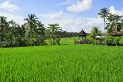 Home in the Rice fields in Bali, Indonesia Stock Image
