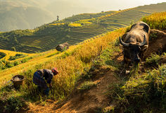 Home on the rice terrace tu le. Vietnam Royalty Free Stock Photography