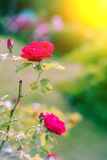 Home rose. Roses in nature. Living Rose. Rose side view. Royalty Free Stock Images