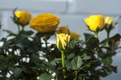 Yellow rose. Home yellow rose at sunny day royalty free stock photo