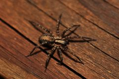 Home Spider Royalty Free Stock Photos