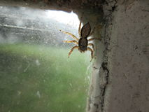 Home Spider. Stock Photo