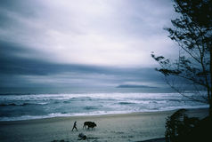 Home before the storm. A farmer and his cattle head for home along a beach in central Vietnam Royalty Free Stock Photography