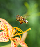 Home Sweet Home. Honeybee (Apis) in Wild Woods royalty free stock image