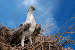 Home Sweet Home. A young eagle in its nest Stock Photos