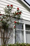 Home sweet home. Cozy home with climbing roses near the window Stock Image