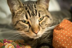 Home tabby cat looking at the camera. Laying in the blanket stock photography