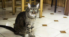 Home tabby cat Stock Photography