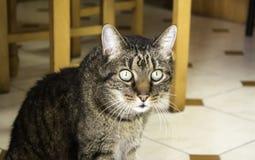 Home tabby cat Stock Photos
