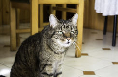 Home tabby cat Royalty Free Stock Photography