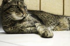 Home tabby cat Royalty Free Stock Photo