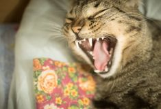 Home tabby cat yawns at the camera. Lies in a blanket royalty free stock photos