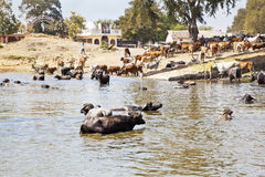 Home time for buffalo and cattle after dip. Landscape taken in a Gujarat village in rural countryside of India of cattle coming to water and bathe, cool down Stock Photography