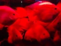 Home tropiskt fiskbeh?llareakvarium royaltyfri bild