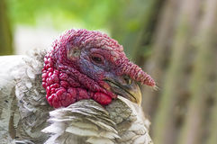 Home turkey close-up. Home turkey Meleagris gallopavo Linnaeus close-up The name of the male is turkey, the female is a turkey, the chicken is a turkey One of Stock Image