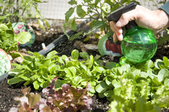 Home urban garden with lettuce. Man sprinkling water on home urban garden with growing green and red lettuce Royalty Free Stock Photos