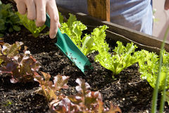 Home urban garden with lettuce. Man working on home urban garden with growing green and red lettuce Stock Images