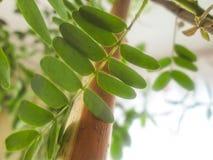 Home växt Fotografering för Bildbyråer