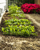 Home Vegetable Garden Stock Images
