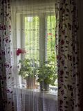Home window flowers decor. A geraniums, with red petals on the rural house window sill behind a curtain. Geraniums red flowers on the window of old rural wooden Stock Photography