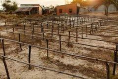 Home Wineyard. Beautiful Sunset Over Empty Winemaking Plantation. Home Wineyard In Vietnam, Asia. Picture Of Beautiful Sunset Or Sunrise Over Empty Vineyard Royalty Free Stock Photo