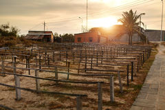 Home Wineyard. Beautiful Sunset Over Empty Winemaking Plantation. Home Wineyard In Vietnam, Asia. Picture Of Beautiful Sunset Or Sunrise Over Empty Vineyard Royalty Free Stock Images