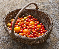 Home yield different tomatoes Royalty Free Stock Photography