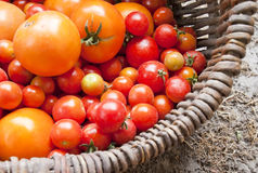 Home yield different tomatoes Stock Photography