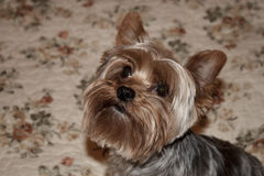 Home Yorkshire Terrier Royalty Free Stock Photos
