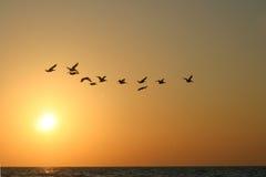 Homebound pelicanos Imagens de Stock Royalty Free